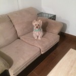 Danville-Sofa-Pet-Stain-Cleaning